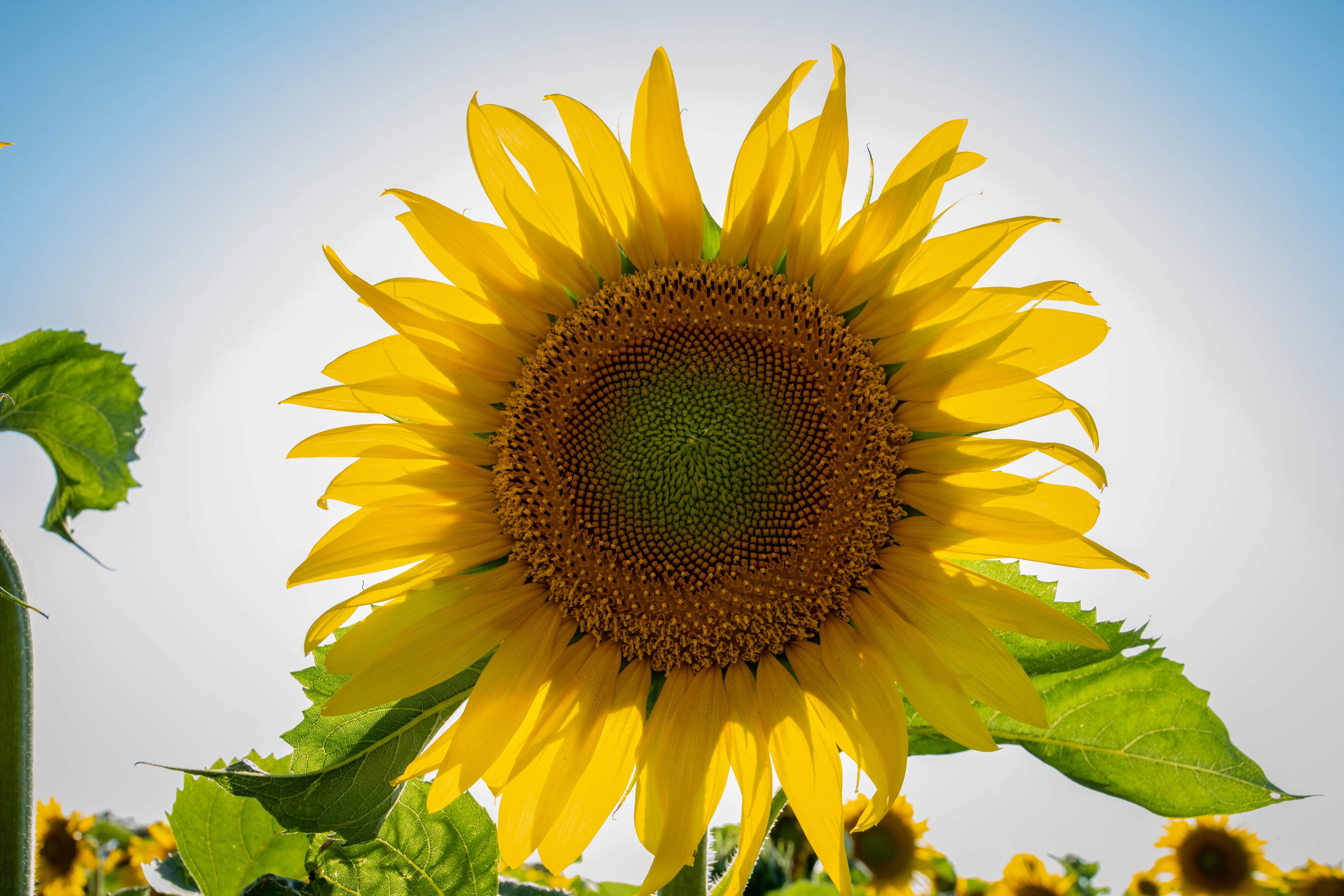 Sunflower backlit by the sun.